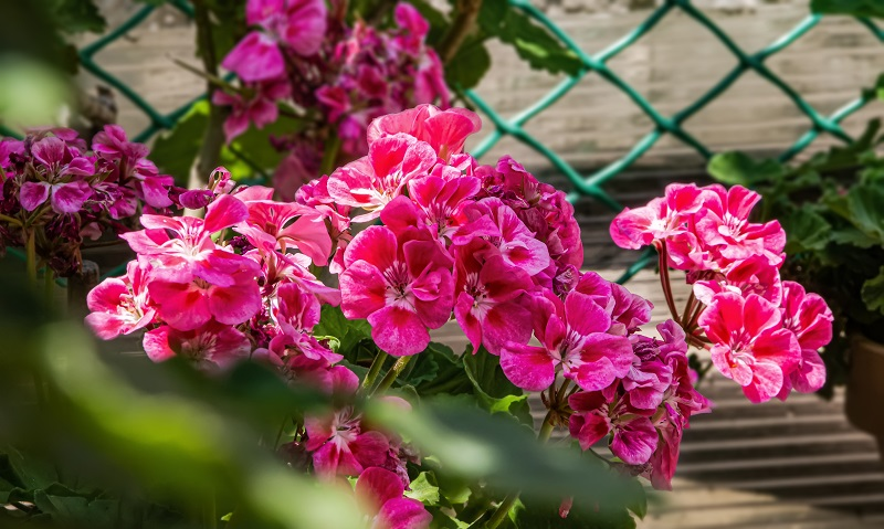 6 serious mistakes that may harm geraniums