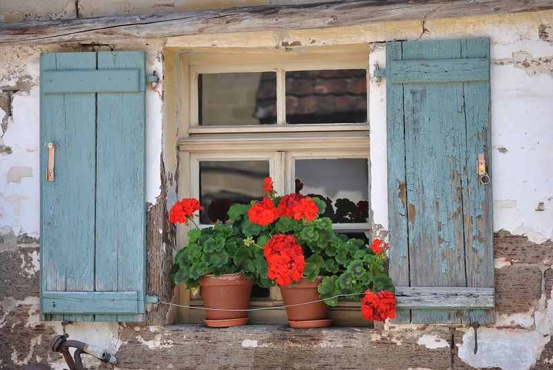 A plant food for geraniums to ensure abundant flowering